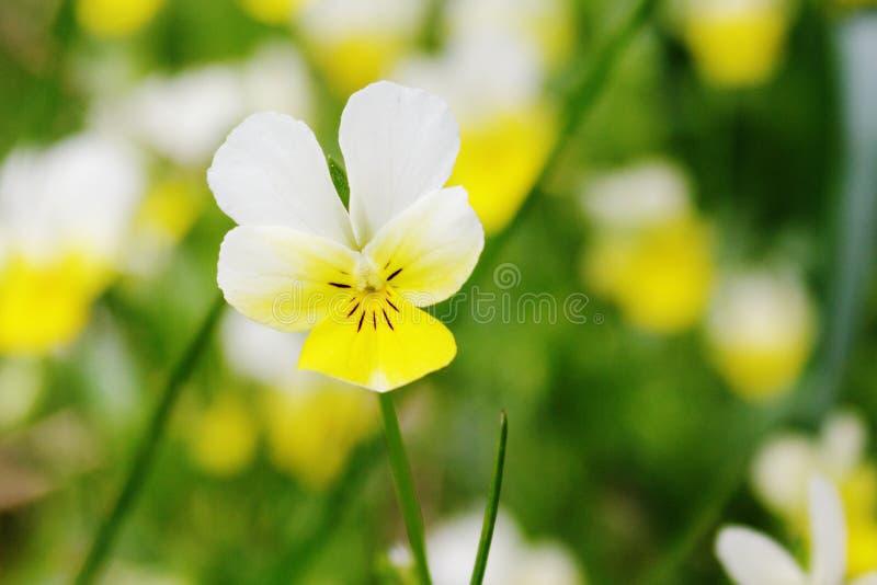 Download Viola Tricolor. Pansy Flower Closeup. Stock Photo - Image: 27410392