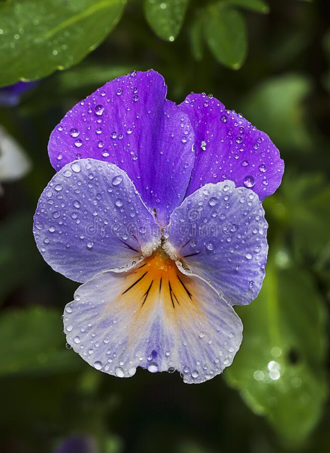 Free Viola Tricolor Wild Pansy Flower Royalty Free Stock Photo - 184273195