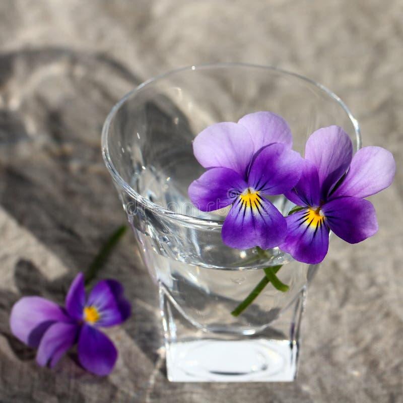 Viola tricolora foto de archivo