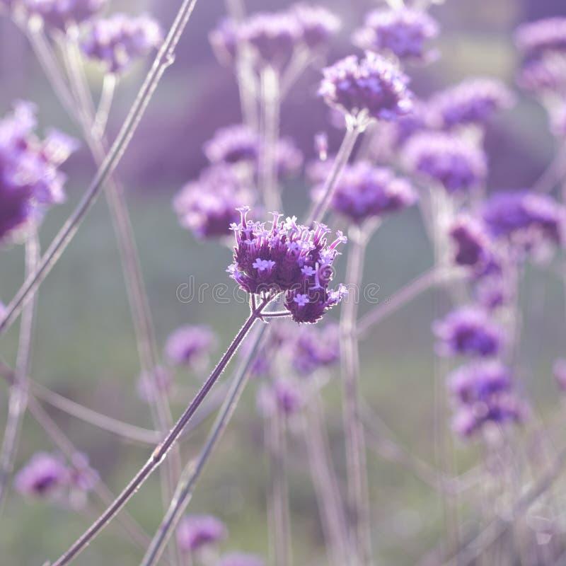 Viola Verbena bonariensis florefloreale vervina fotografia stock libera da diritti