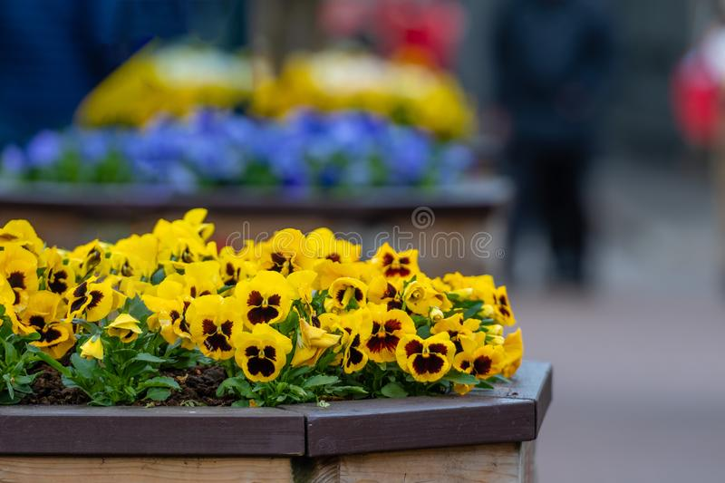 Viola yellow and brown pansy flower or yellow violets - Image royalty free stock photography