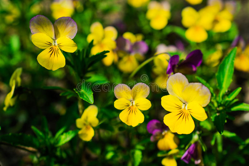 Viola and yellow tricolor pansy, flower bed bloom in the garden. stock image
