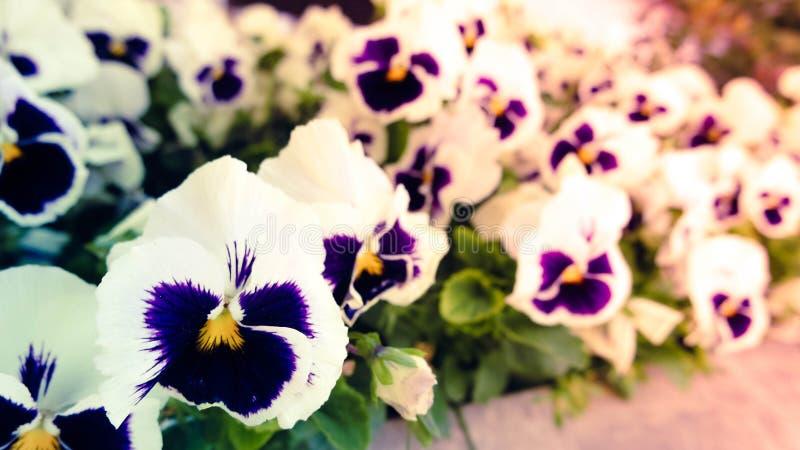 Violablume stockbild
