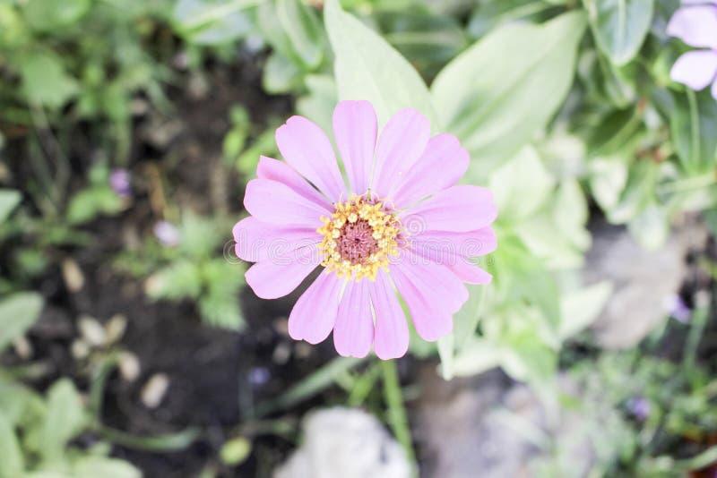 Violacea Cav van Zinnia stock afbeeldingen