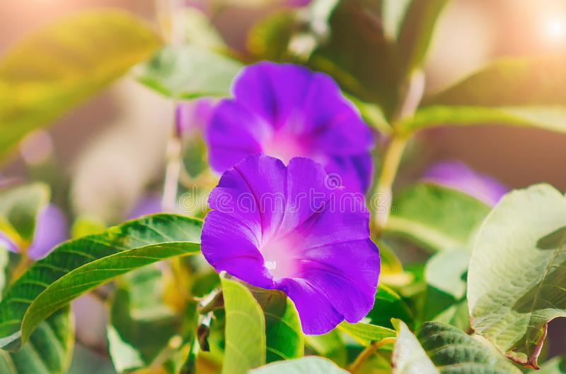 Violacea d'Ipomoea, moonflower de plage ou moonflowe de mer Beaux papiers peints photographie stock libre de droits