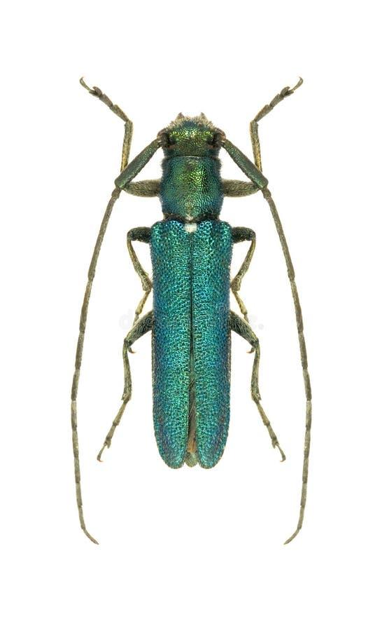 Violacea de Agapanthia del escarabajo del Capricornio fotografía de archivo