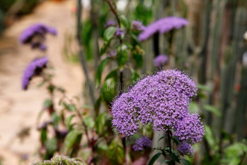 Violacea de Tulbaghia as flores roxas pequenas fecham-se acima fotografia de stock royalty free