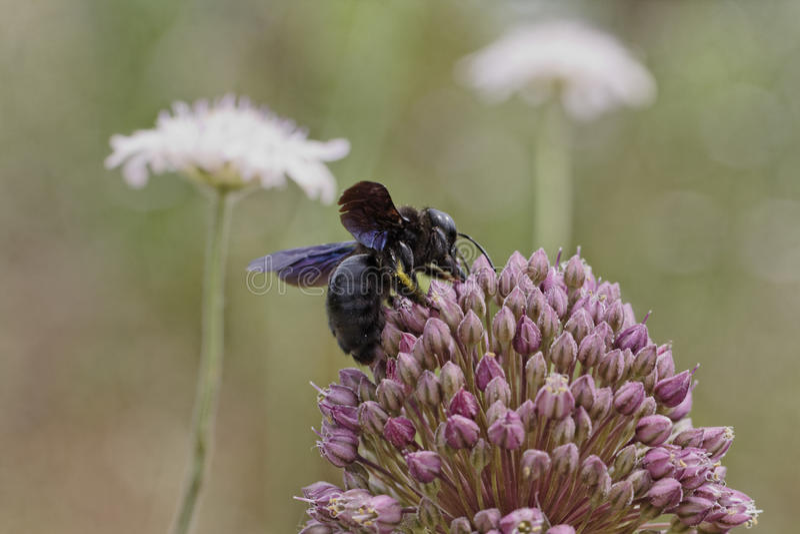 Violacea de Xylocopa, Violet Carpenter Bee, Indienne Bhanvra de Corse, France photos libres de droits