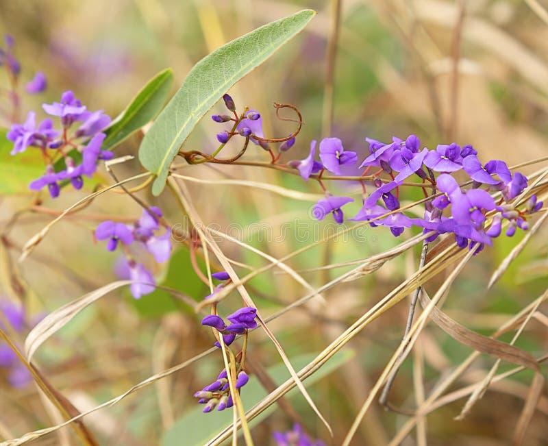 Violacea nativo australiano do Hardenbergia da videira da flor do salsaparrilha imagens de stock royalty free