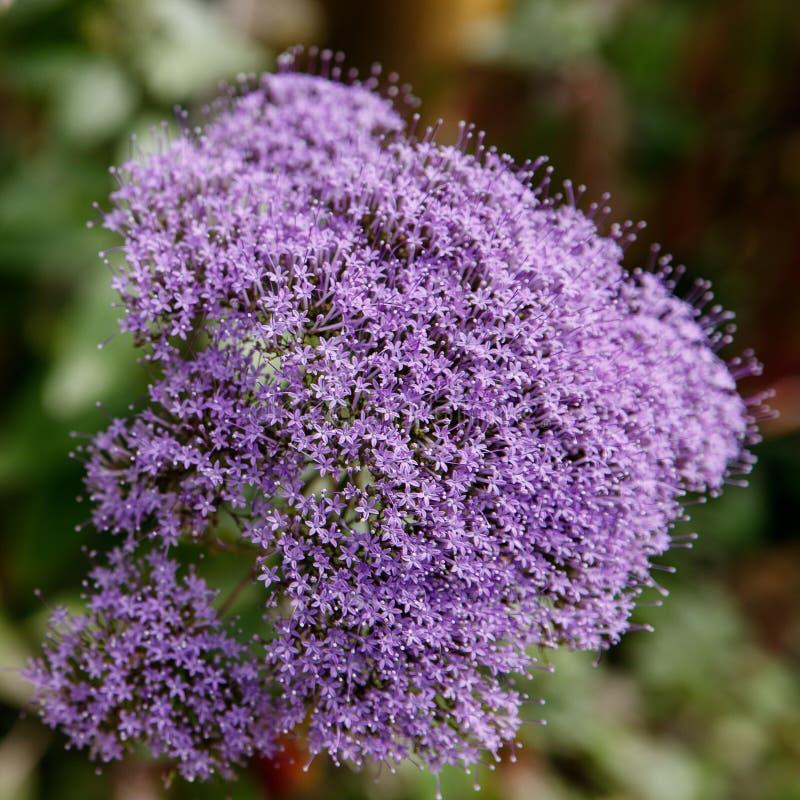 Violacea Tulbaghia небольшие пурпурные цветки закрывают вверх стоковая фотография