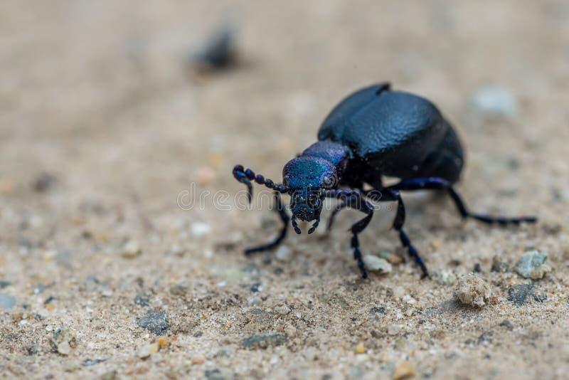 Violaceus violet de Meloe de scarabée d'huile le printemps de chemin de terre photo stock