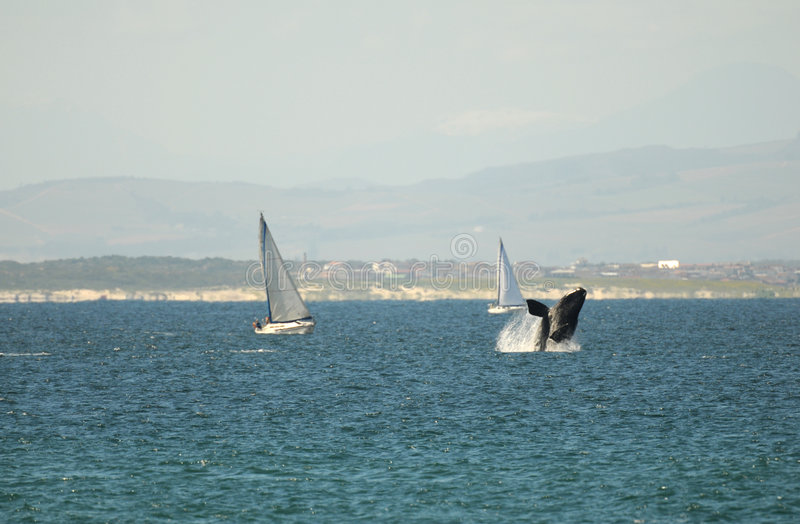 Violación de la ballena fotografía de archivo