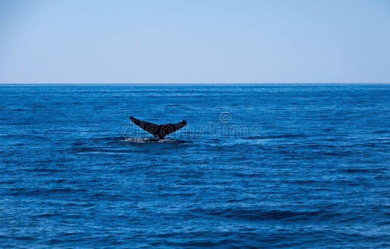 Violación de la ballena, cola de la ballena jorobada en el océano azul fotografía de archivo