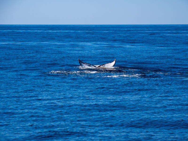 Violación de la ballena, cola de la ballena jorobada en el océano azul fotos de archivo libres de regalías