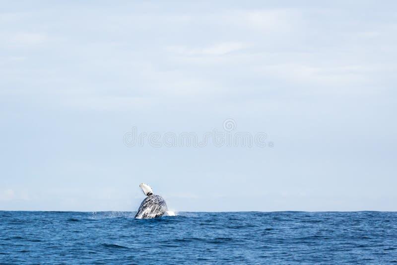 Violación de la ballena de Humpback imagen de archivo
