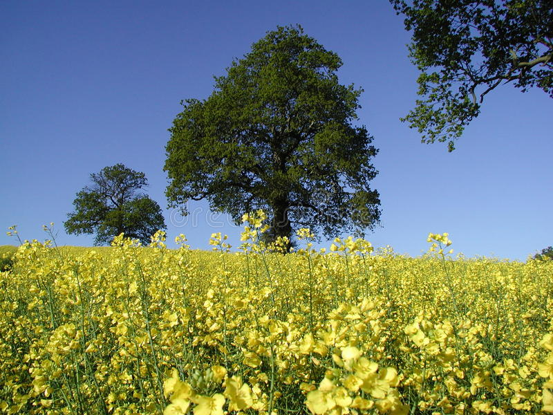 Violación de la semilla oleaginosa en comienzo del verano fotos de archivo libres de regalías