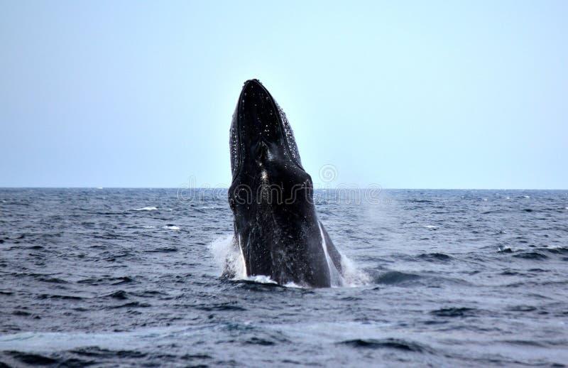 Violación de negro de la ballena jorobada y hermoso imagen de archivo