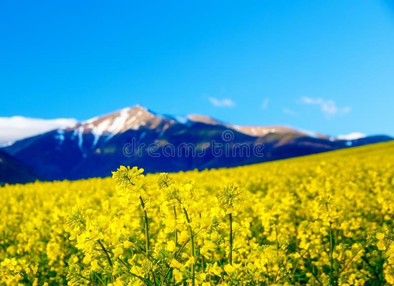 Violación de semilla oleaginosa amarilla hermosa de la flor con la montaña en fondo Eslovaquia, Europa Central, Liptov fotografía de archivo