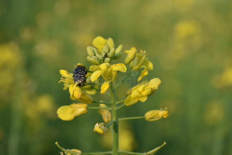 Violación e insecto de la semilla oleaginosa fotografía de archivo libre de regalías