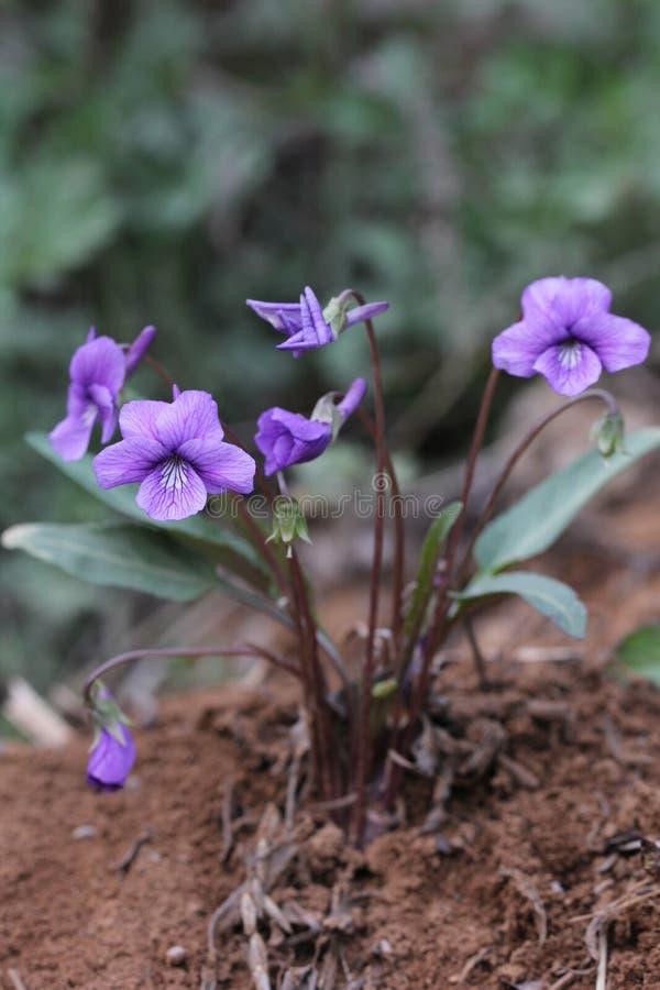 Violae del Herba fotografia stock