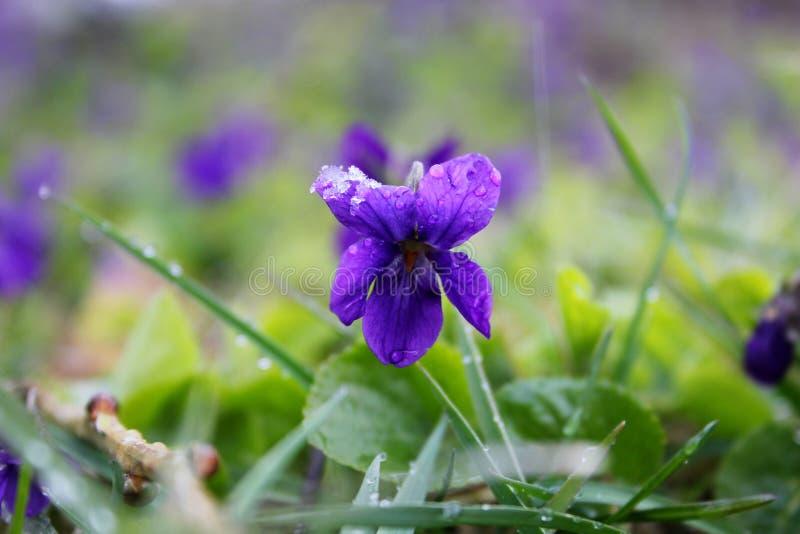 Violaodorata stockbilder