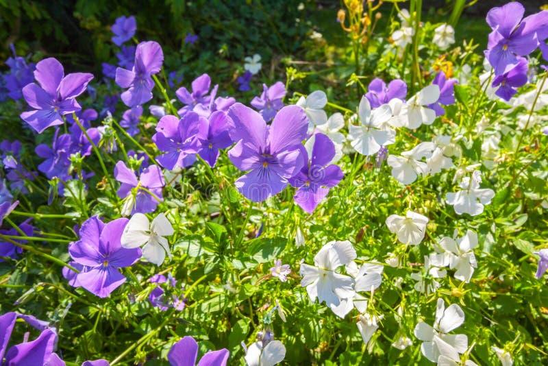 Violas ή κινηματογράφηση σε πρώτο πλάνο Pansies στοκ φωτογραφία