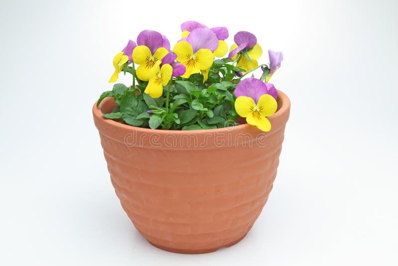 Violas στο δοχείο λουλουδιών στοκ φωτογραφία