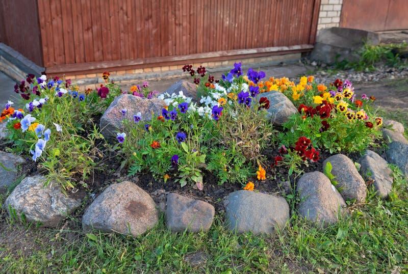 Violas. Or Pansies in a Garden royalty free stock photos