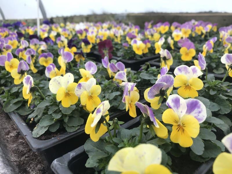 Violas amarillas y púrpuras imagen de archivo