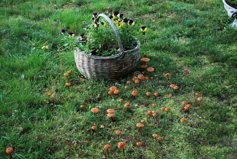 Violas in the basket surrounded by the mushrooms. Country style picture, some flowers in the old basket surrounded by autumn mushrooms stock images