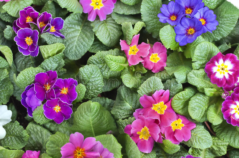 Violas. Colorful violas in a pot view from above royalty free stock photo