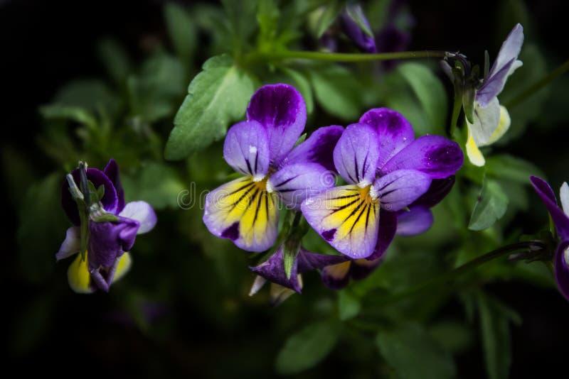 Violas coloridas fotos de archivo libres de regalías