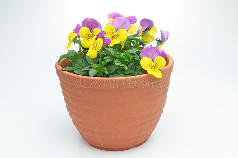 Violas in the flower pot. Pictured violas in the flower pot stock photography