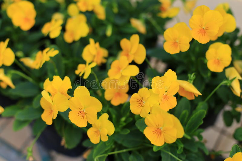 Violas flowers in the garden. Violas or Pansies Closeup in a Garden royalty free stock images