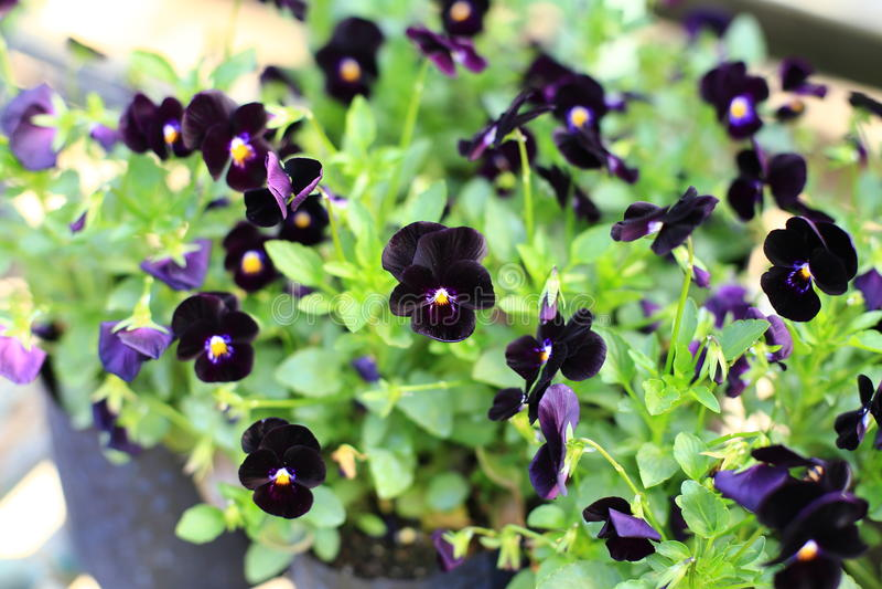 Violas flowers in the garden. Violas or Pansies Closeup in a Garden stock image