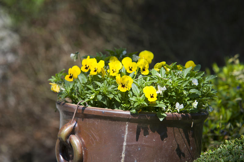 Violas growing in spring garden. Decoration stock images