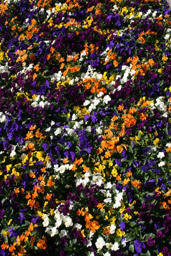 Violas stock photo