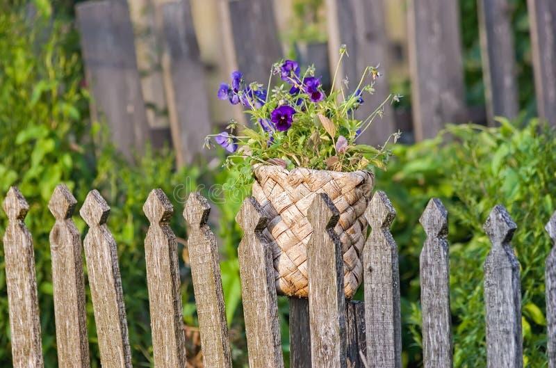 Violas in old birch basket. Violas or Pansies in old birch basket royalty free stock photo