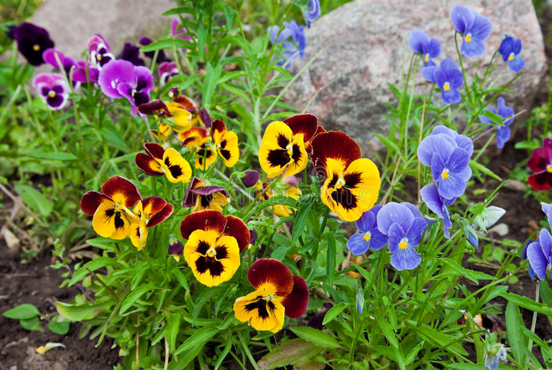 Violas or Pansies. Closeup in a Garden stock images