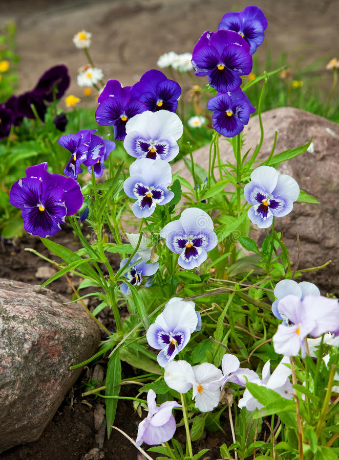 Violas or Pansies. Closeup in a Garden royalty free stock photography