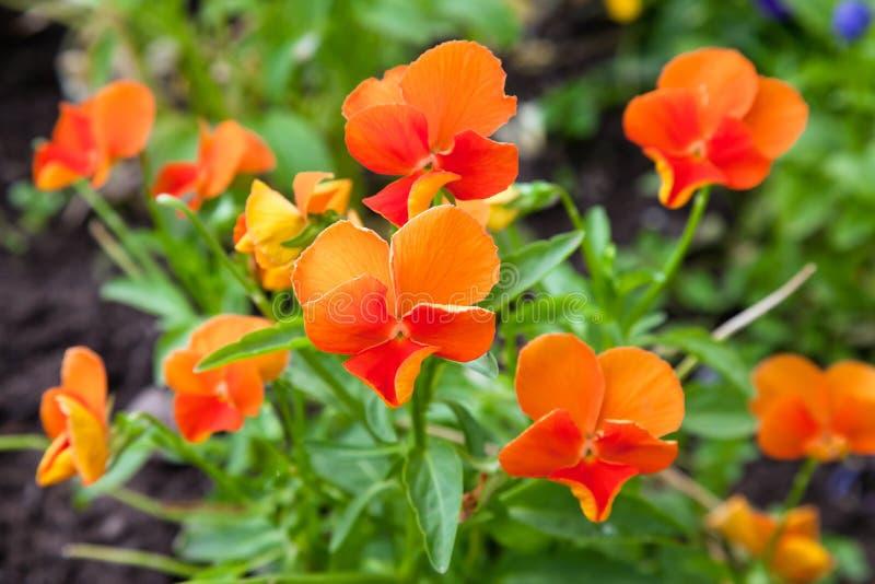 Violas or Pansies. Closeup in a Garden stock photos