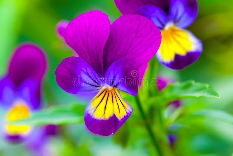 Violas or Pansies. Closeup in a Garden royalty free stock photos