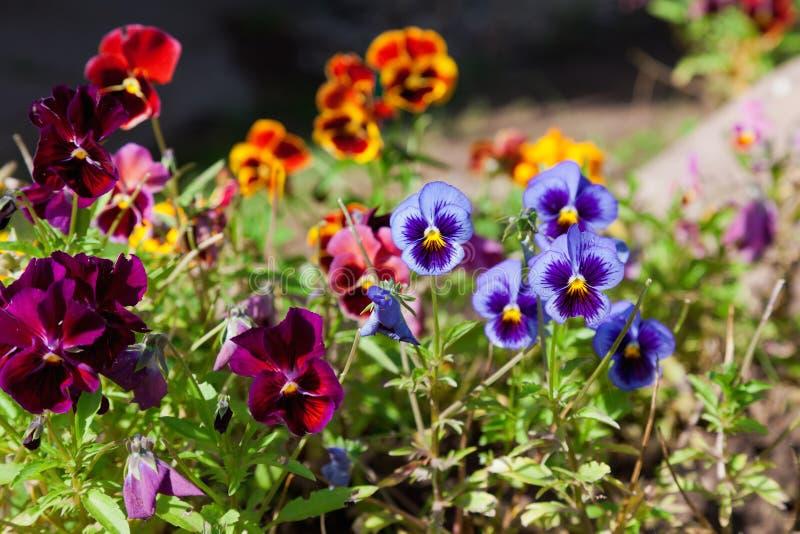 Violas or Pansies. Closeup in a Garden stock photography