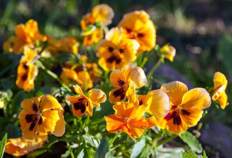 Violas or Pansies Closeup. In a Garden royalty free stock image