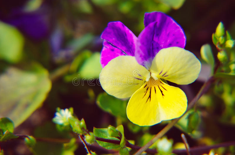 Violas or Pansies Closeup in a Garden. Different colors royalty free stock images