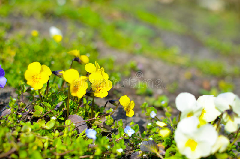 Violas or Pansies Closeup in a Garden. Different colors royalty free stock photo