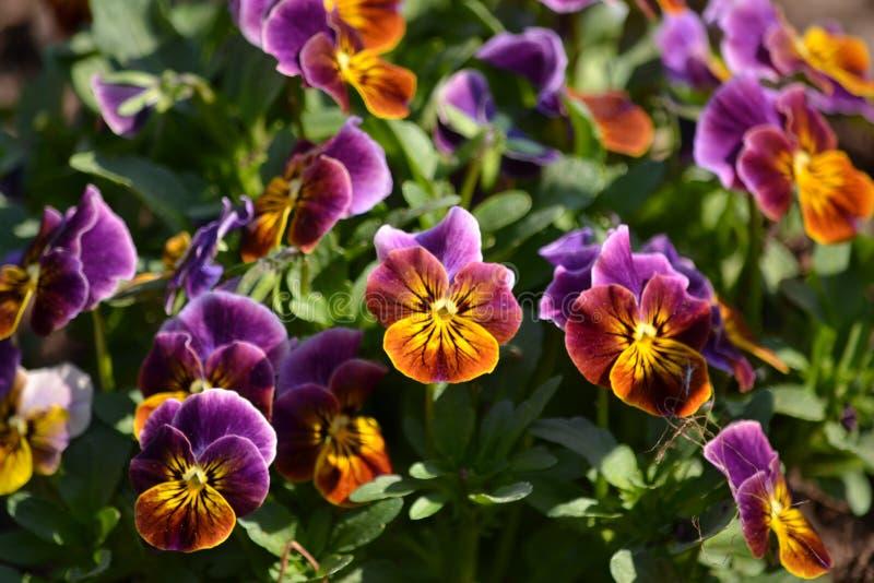 Violas. Pretty purple and orange violas stock photos