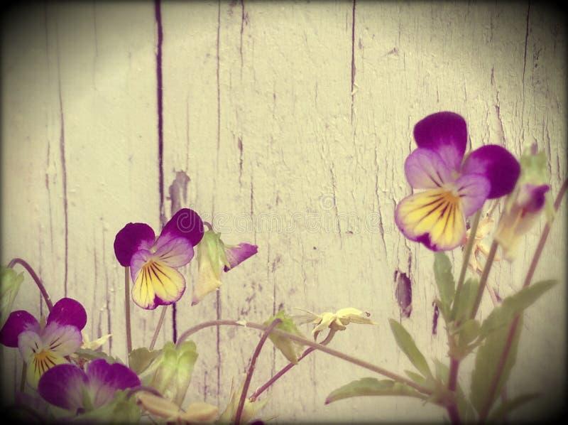 Violas. Purple violas wood stock image