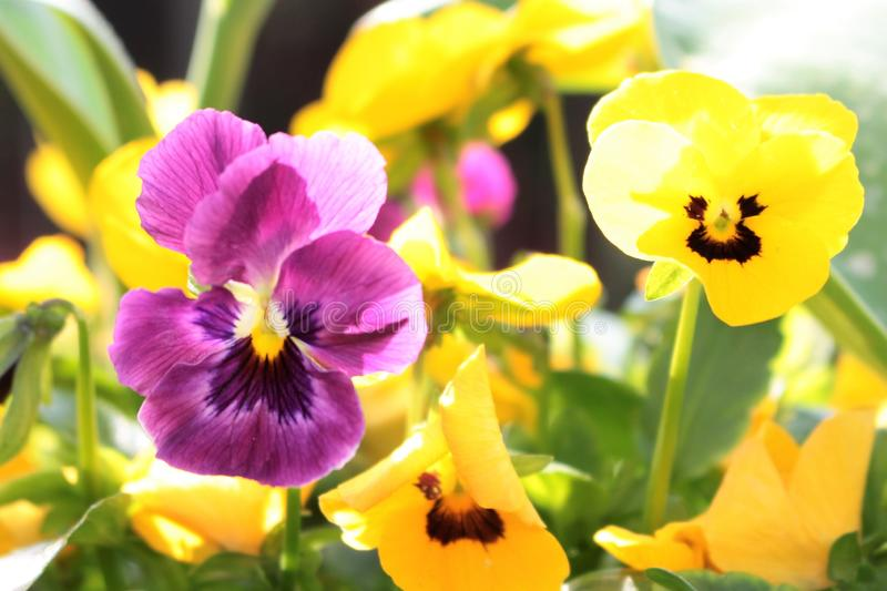 Violas purple and yellow close up in a garden border. Close up Violas in a garden border with blurred background. Flowers purple and yellow. Leaves green stock images