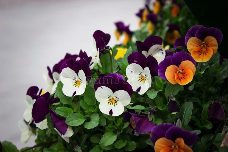 Violas. Winter colorful violas in the garden stock image